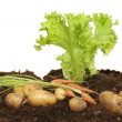 Lettuce, carrots and potatoes — Stock Photo