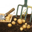 New potatoes in soil - Stockfoto