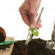 Stock Photo: Transplanting seedling
