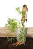 выкапывать морковь — Стоковое фото