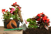 Begonia plants — Stock Photo