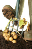 Digging new potatoes — Stock Photo