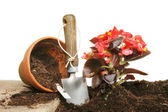 Planting a begonia — Stock Photo