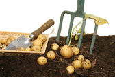 New potatoes in soil — Stock fotografie