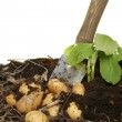 Digging new potatoes — Foto de Stock