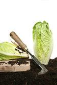 Harvesting lettuce — Stock Photo