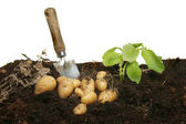 New potatoes in soil — Stock Photo