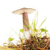 草甸毒菌 — 图库照片