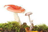 Toadstools in moss — Stock Photo