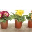 Spring bedding plants — Stock Photo