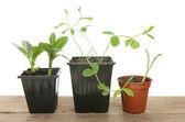 Seedlings in pots — Stock Photo