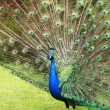 Stock Photo: Displaying Peacock