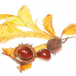Conkers on leaf — Stock Photo