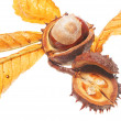 Conker and leaves — Stock Photo