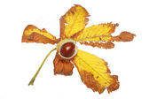 Conker on leaf — Stock Photo