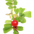 Rose hip en gebladerte — Stockfoto