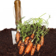 Carrot crop — Stock Photo