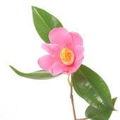 Pink Camellia — Stock Photo