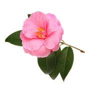 Camellia flower — Stock Photo