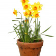 Daffodils in a pot — Stock Photo #25260471