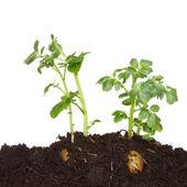 Potato plants in soil — Stock Photo