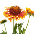 Gaillardia flowers — Stock Photo #29298877