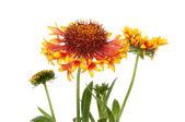 Gaillardia flowers — Stock Photo