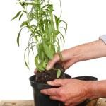 Planting — Stock Photo #30643051