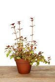 Centradena rostlina — Stock fotografie