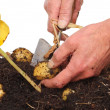Digging potatoes — Stock Photo