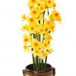 Stock Photo: Narcissus flowers
