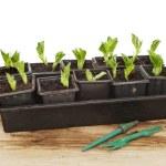 Seedlings — Stock Photo #41445607