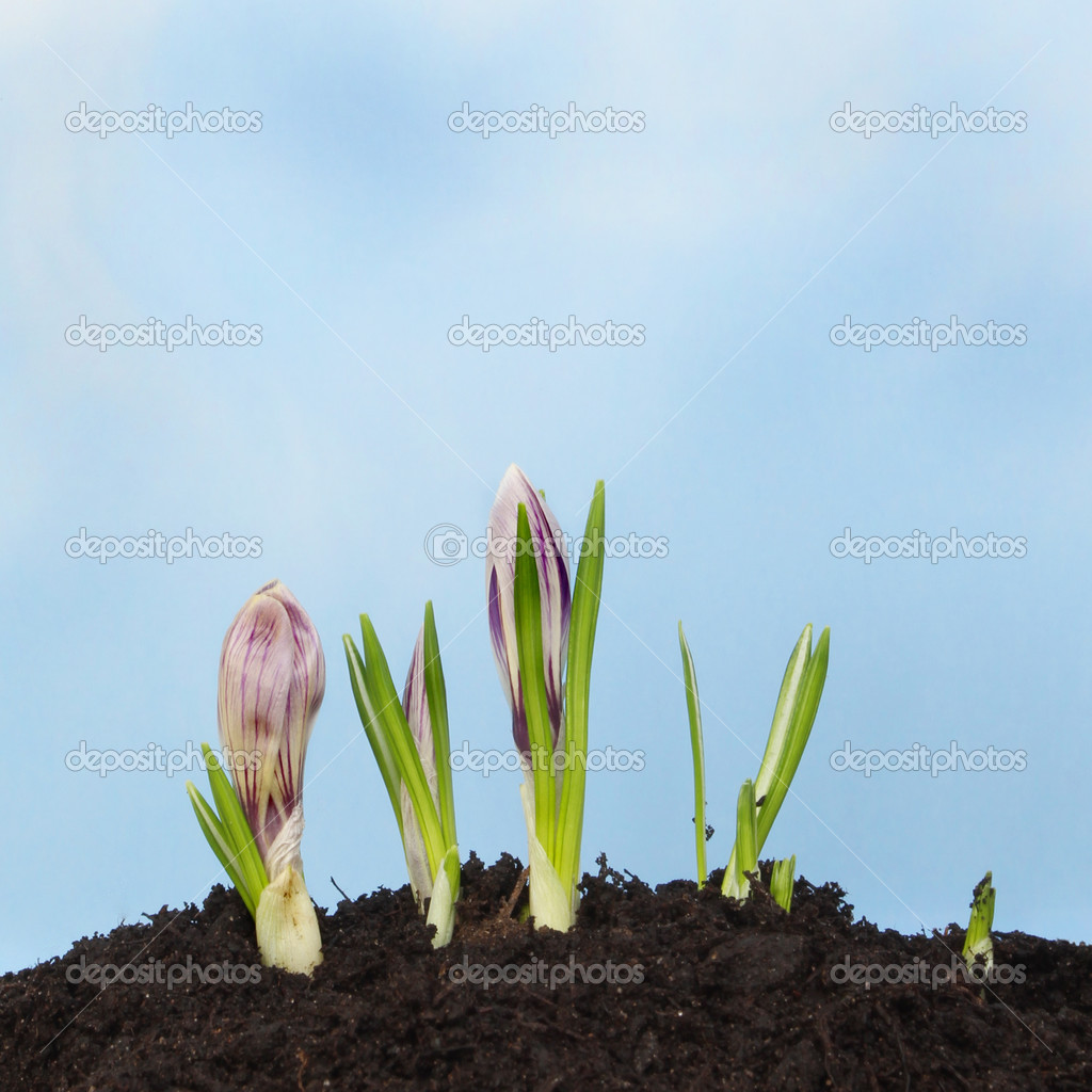 Как вырастить крокусы в домашних условиях семенами
