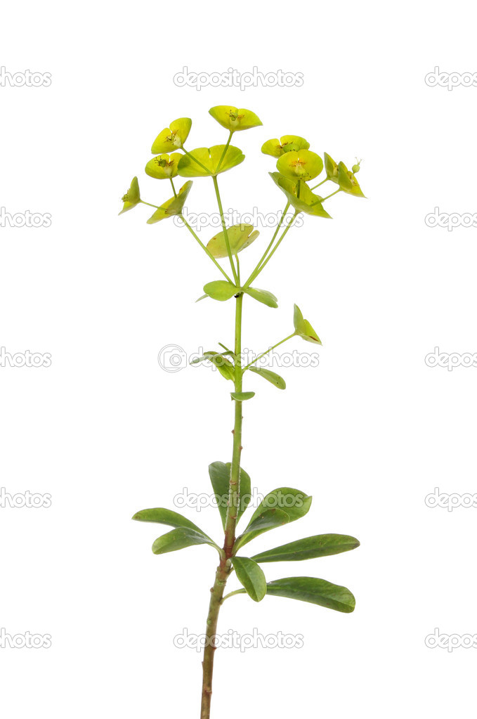 the woodspurge Notes 1] the woodspurge, a plant of the very large genus euphorbia, has a cup-like flower.