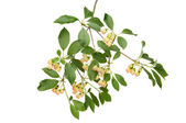 Pergoda bush — Stock Photo