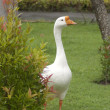 Stock Photo: Balinese goose