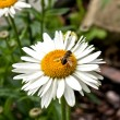 Daisy flower - with bee — Stock Photo
