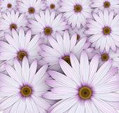 Field of purple daisy flowers. — Stock Vector