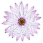 Single purple daisy (osteospermum) flower. — Stock Vector