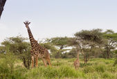 Masai Giraffe — Stock Photo
