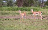 Thomson's Gazelle — Stock Photo