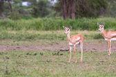 Thomson's Gazelle in the Serengeti — Stock Photo