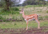 Grants Gazelle in the Serengeti — Stock Photo