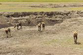 Stado dzikich psów — Zdjęcie stockowe