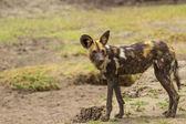 Wild (Hunting) Dog — Stock Photo