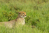 Cheetah relaxing in the grass — Stock Photo
