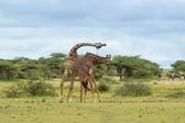 Two Giraffe Fighting — Stock Photo