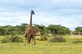 Giraffe necking — Stock Photo
