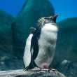Rockhopper penguin — Stock Photo #16846571