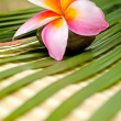 Stock Photo: Beautiful frangipani